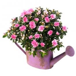 http://fleursetdesign.com/boutique/208-thickbox_choco/azalee-arrosoir-plante-fleurie-mamie-mamy-livraison-fleurs-bouquet-printemps-nantes-bouguenais.jpg