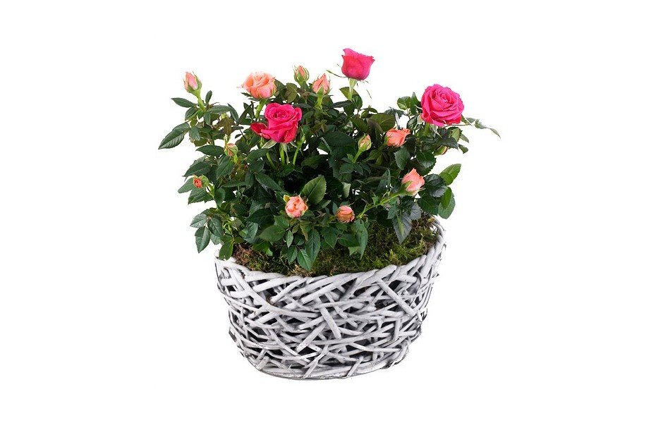Coupe de rosiers for Commander des plantes